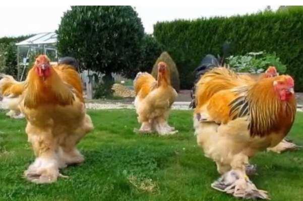 婆罗门鸡为什么禁止买卖:体型庞大容易对人造成伤害